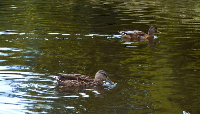 Anatidi nello stagno del parco di Amsterdam