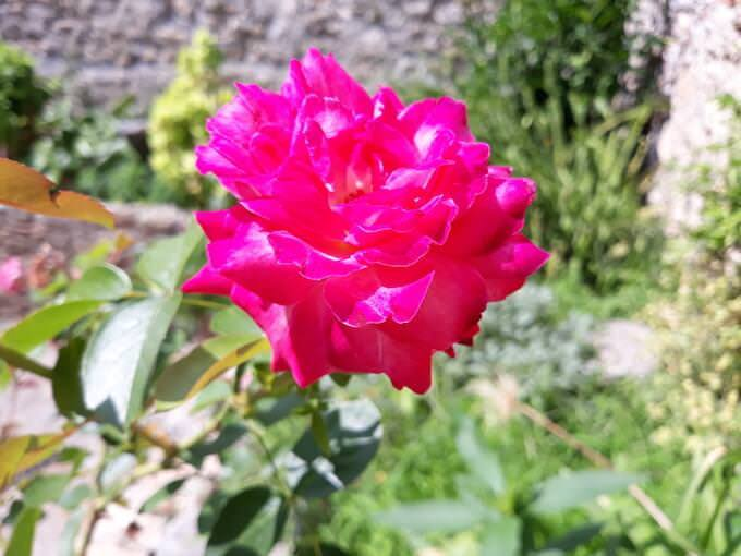 Un fiore a Mistrà, nel Peloponneso