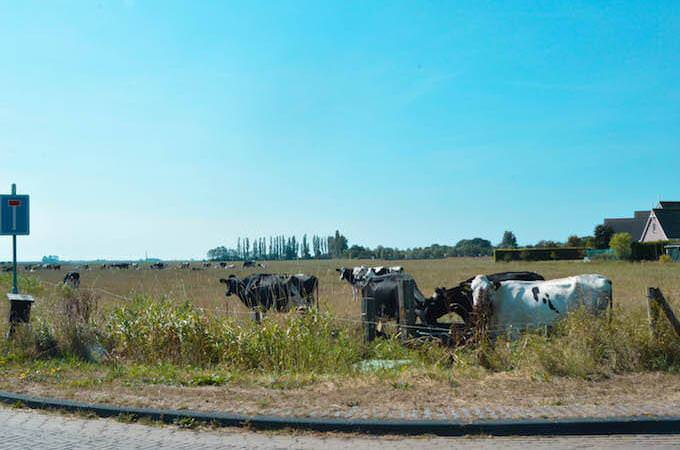 Bovini al pascolo nei pressi di Warns, in Olanda