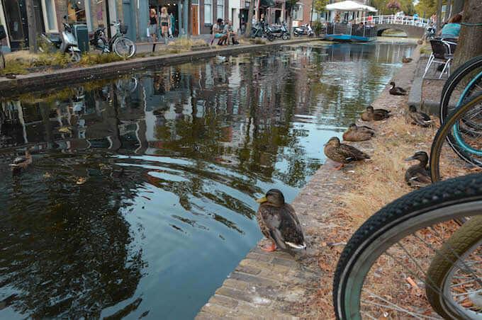 Anatidi in un canale di Delft