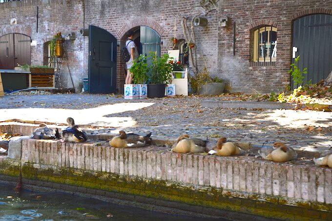 Utrecht: anatidi sulla banchina di un canale