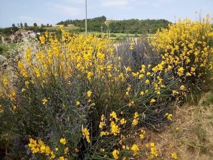 Ginestre ed erba viperina in una valle appenninica